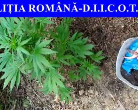Cultură cannabis